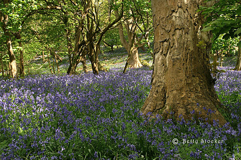 Bluebell Woods nr Chipping Campden