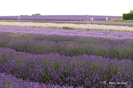 Lavender Fields around Chipping Campden